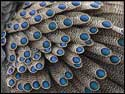 Peacock Pheasant Feathers