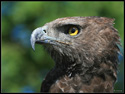 Martial Eagle (Polemaetus bellicosus), Largest African Eagle.